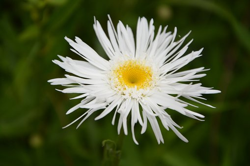 Marguerite, Flower, Petals, Nature, Spring