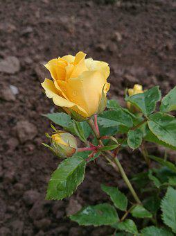Flowers, Rose, Yellow Rose, Flower, Tender Rose, Summer