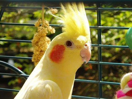 Cockatiel, Bird, Yellow, Parakeet, Spring Bonnet