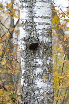 Birch, Birch Tree, Trunk, Color, Leaf, Autumn, Fall