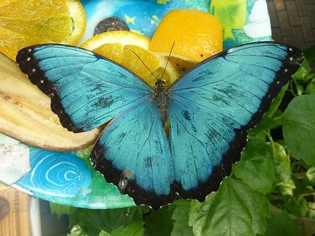 Butterfly, Blue, Wing, Insect, Nature
