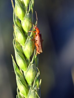 Wheat, Green, Cereals, Green Wheat, Ear, Close, Beetle