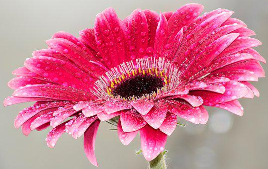 Flower, Pink, Beauty, Bloom, Daisy, Red, Fresh, Water