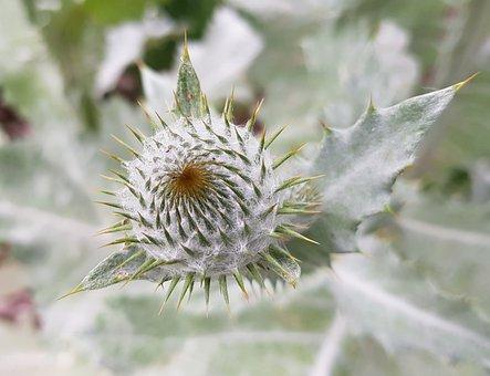 Thistle, Blossom, Bloom, Bud, Plant, Nature