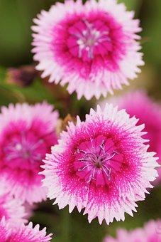 Blossom, Bloom, Pink, Flowers, Plant, Garden
