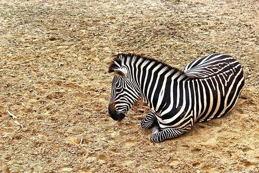 Zebra, Animal, Wildlife, Nature, Wild, Zoo, Safari