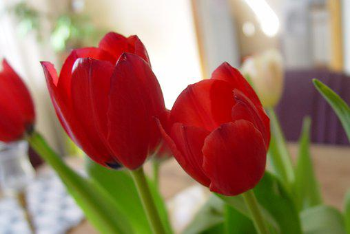 Flowers, Tulips, Red, Floral, Spring, Blossom