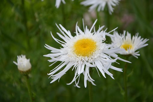 Flower, White, Nature, Garden, Petals, Summer Flowers