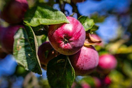 Apples, Red, Tree, Red Apple, Fruit, Food, Healthy