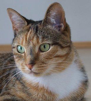 Cat, Animal, Tabby, 2, 5 Yrs, Striped, Companion