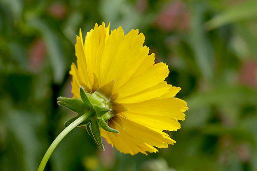 Flower, Yellow, Single, Asteraceae, The Petals, Based