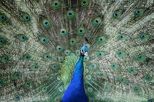 Peacock, Beat Rad, Colorful, Bird, Plumage