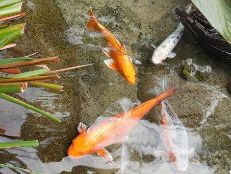 Gold Fish Pond, Fishes, Pond, Fish, Nature, Pet