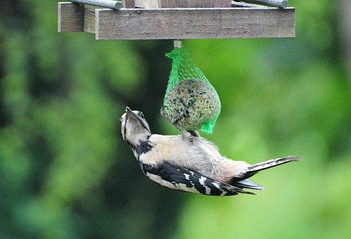 Woodpecker, Great Spotted Woodpecker, Bird, Forest Bird