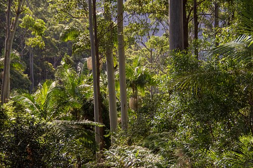 Rain Forest, Forest, Gum Trees, Eucalypts, Palms, Green