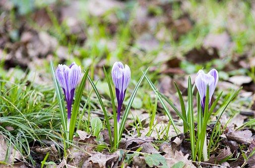 Crocus, Flower, Spring, Nature, Purple, Fresh, Green