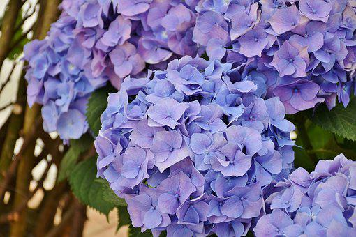 Hydrangeas, Flowers, Purple, Blue, Flower, Garden