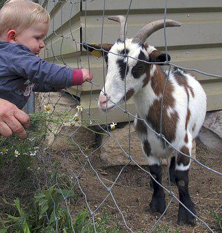Goat, Kid, Small Child, Fence, Small Goat, Young Animal