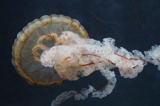 Jellyfish, Mollusk, Fluorescent, Fluoresce, Aquarium