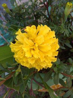 Marigold, Ornamental, Flowers, Marigold Flower, Yellow