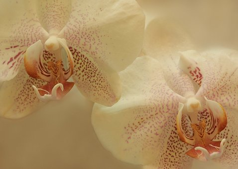 Orchids, Flowers, White, Floral, Blossom, Bloom, Nature