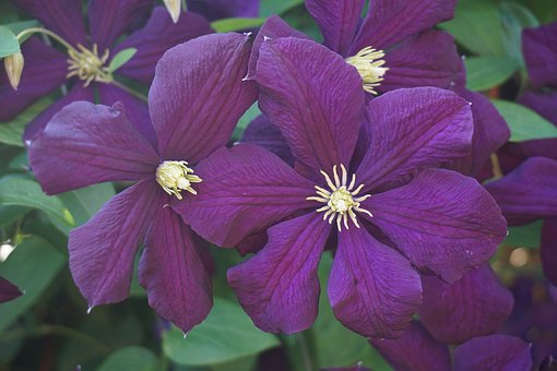 Blossom, Bloom, Purple, Clematis, Summer, Nature