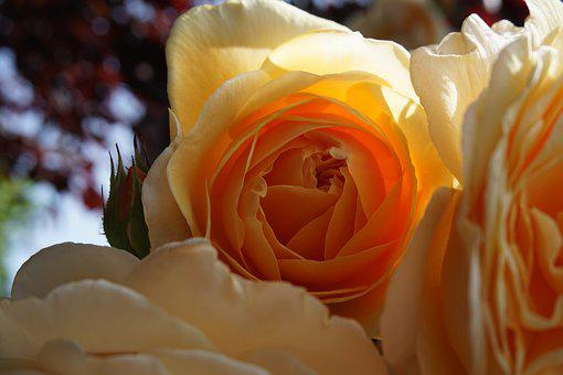 Rose, Orange, Blossom, Bloom, Filled English Rose