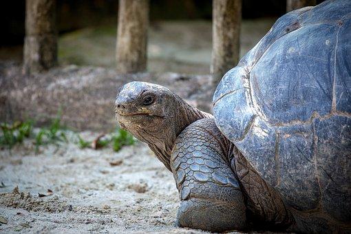 Turtle, Slowly, Animal, Panzer, Tortoise