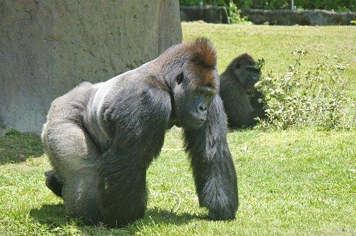 Gorilla, Silverback, Ape, Zoo Miami