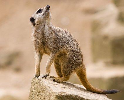 Meerkat, Animal, Wildlife, Mammal, Suricate, Suricata