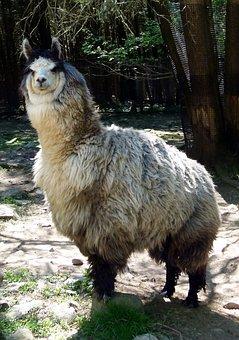 Llama, Animal, Mammal, Wild, Wool, Wildlife, Peru, Zoo
