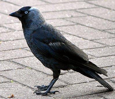 Jackdaw, Raven Bird, Black Bird, Black, Nature