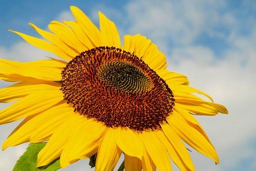 Sun Flower, Flower, Blossom, Bloom, Yellow