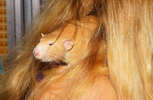 Rat, Close, Hidden, Cute, Fur, Rodent, Nager, Sweet