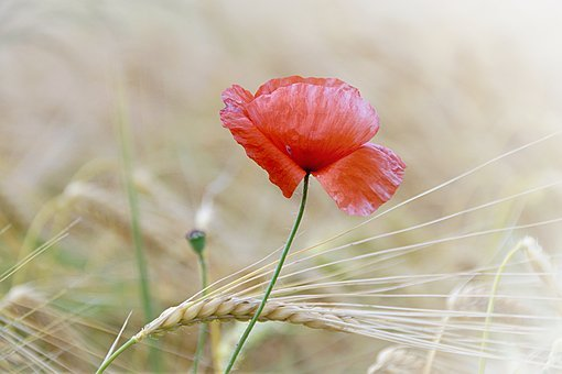 Poppy, Poppy Flower, Flower, Field Of Poppies, Blossom