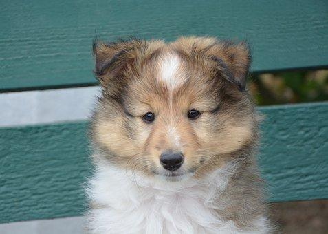 Puppy, Shepherd Shetland, Lof, Pure-breed, Female
