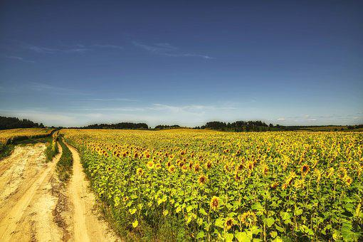 Nature, Landscape, Field, Sunflower, Summer, Beauty