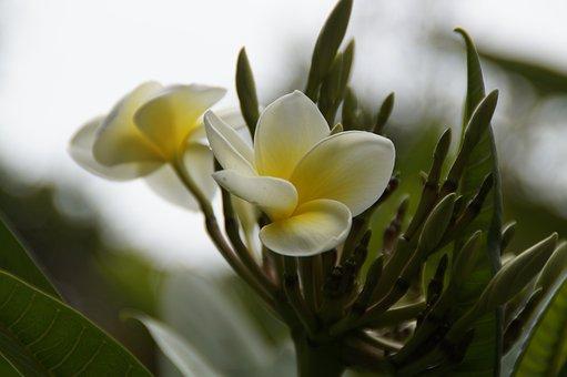 Frangipani, Blossom, Bloom, Tree, Plumeria, Temple Tree