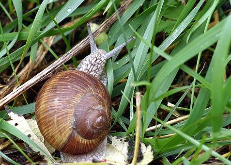 Snail, Winniczek, A Delicacy, French, Seashell, Edible