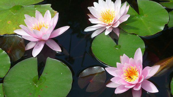 Water Lilies, Aquatic Plants, German Garden Plant, Pond