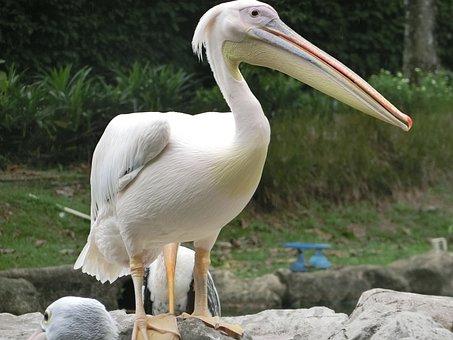 Pelican, Bird, Singapore-bird-park, Large-beak