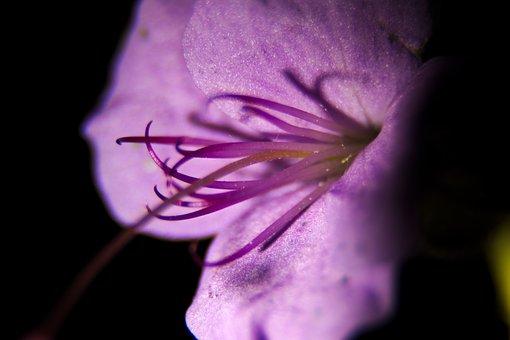 Flower, Blossom, Bloom, Purple, Delicate Flower, Plant