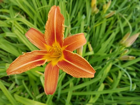 Flowers, Day Lilies, Summer