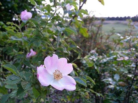 Wild Rose, Briar, Eglantine, Evening, Calm, Peaceful