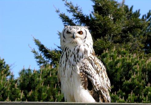 Owl, Snowy, Hunter, Predator, Majestic, Eyes