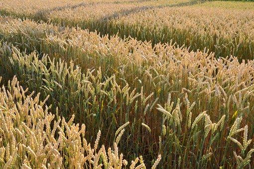 Grain, By Chaitanya K, Cornfield, Sunshine, Wheatfield