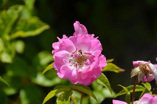 Natural, Rose, Pink, Flower, Plant, Wild, Hip, Macro