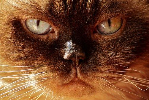 British Shorthair, Cat, Mieze, Breed Cat, British