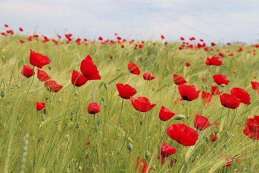 Papaver Rhoeas, Flower, Plant, Nature, Flowers, Green