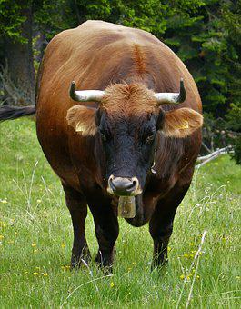 Beef, Cattle, Cow, Milk Cow, Pasture, Agriculture